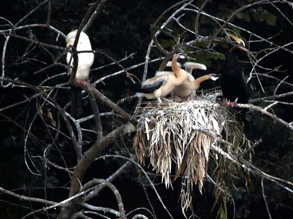 Darter's nest with her young (Photographer: Ron Garrett)