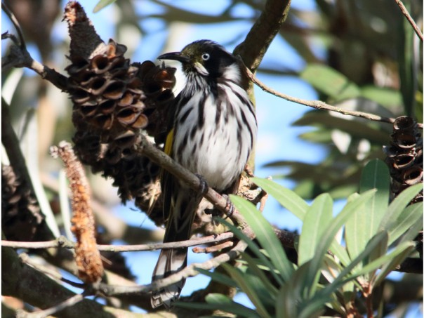 New Holland Honeyeater at Balyang Sanctuary (Photographer: Ron Garrett)