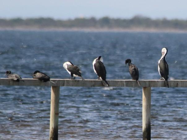 Pied and Little Black Cormorants (Photographer: Ron Garrett)