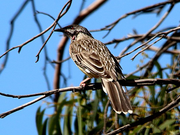 Red Wattlebird; Photographer Ron Garrett