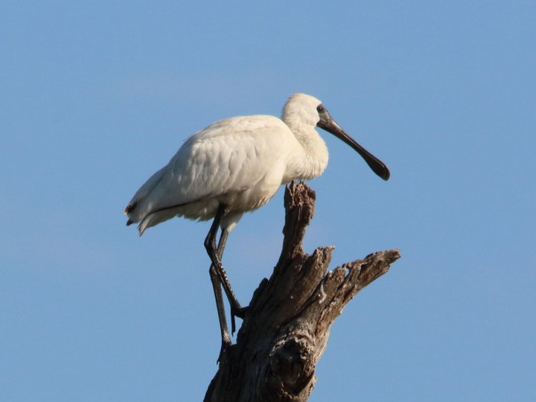 Royal Spoonbill (Photographer: Ron Garrett)