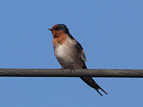 Welcome Swallow; Photographer: Ron Garrett