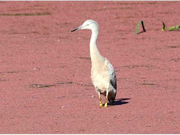 White-necked Heron also at Balyang Sanctuary (Photographer: Ron Garrett)