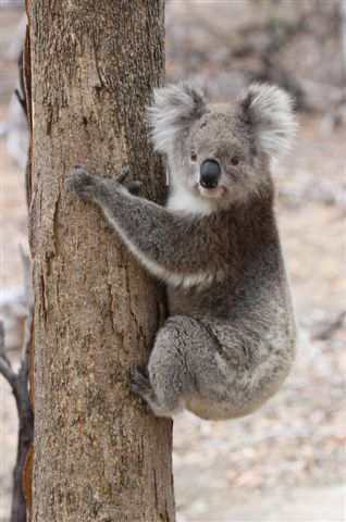 You Yangs Koala. Photograph: Ken Haines