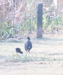 Purple Swamphen with youngster. Photographer: Valerie Wachtel
