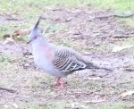 Crested Pigeon. Photographer: Valerie Wachtel