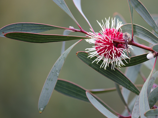 Hakea laurina. Photographer: Merrilyn Serong