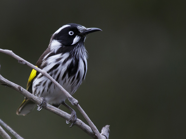 New Holland Honeyeater. Photographer: Merrilyn Serong