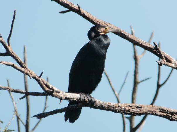 Great Cormorant. Photographer: Ron Garrett