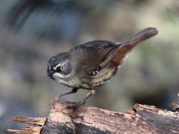 White-browed Scrubwren. Photographer: Ron Garrett