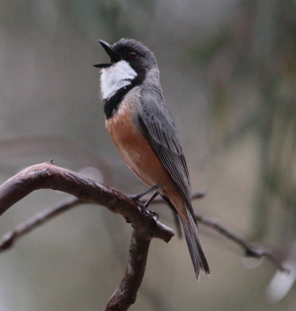 Rufous Whistler. Photo by Ron Garrett