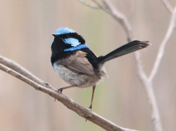 Superb Fairy-wren. Photo by Ron Garrett