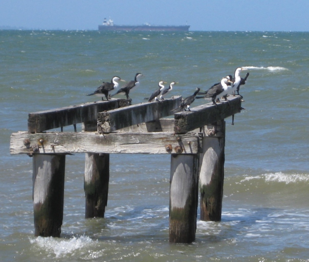 Pied and Little Pied Cormorants on remains of a jetty near the old Pt Cook homestead. Photo by Diane Tweeddale