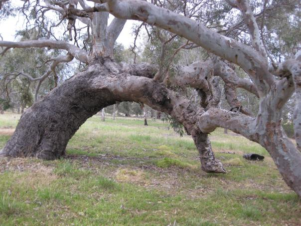 Aged eucalypt. Photo by Diane Tweeddale
