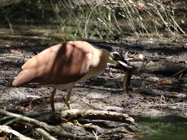 Nankeen Night-Heron eating its prey. Photographer: Danika Sanderson
