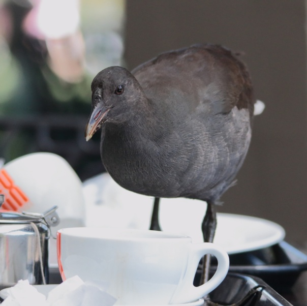 Dusky Moorhen at tea room. Photo by Ron Garrett