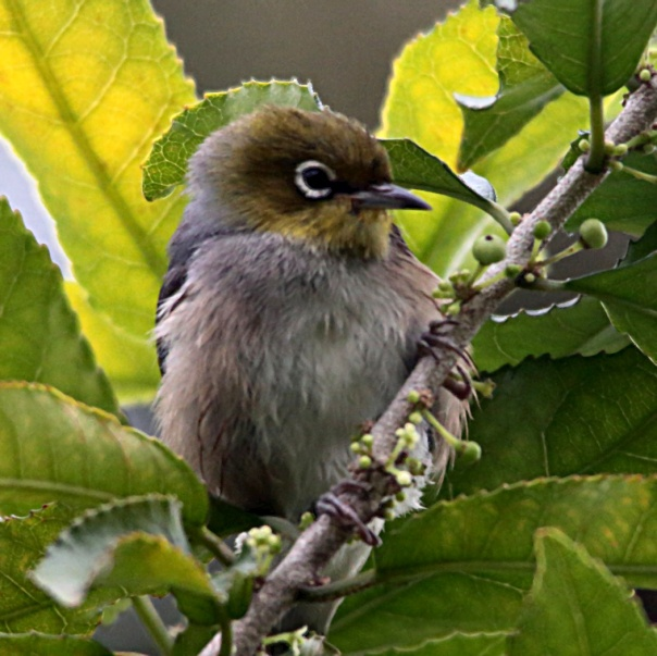 Silvereye. Photo by Ron Garrett