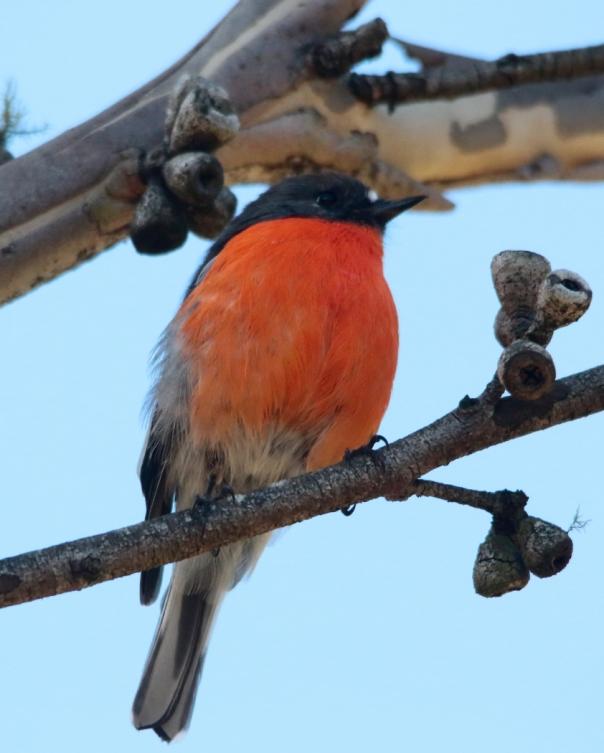Flame Robin. Photograph by Ron Garrett