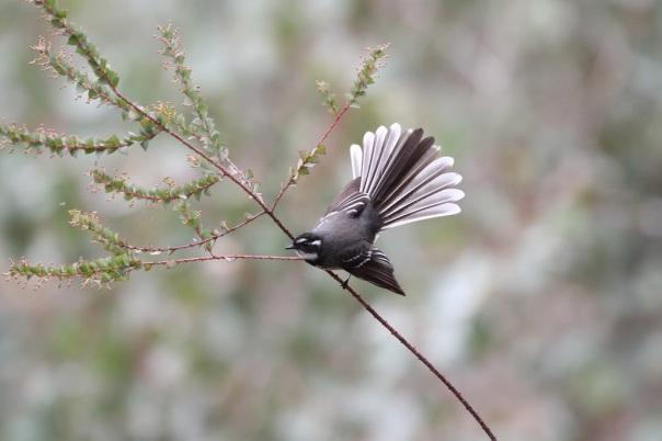 Grey Fantail. Photographer: Kathy Zonnevylle