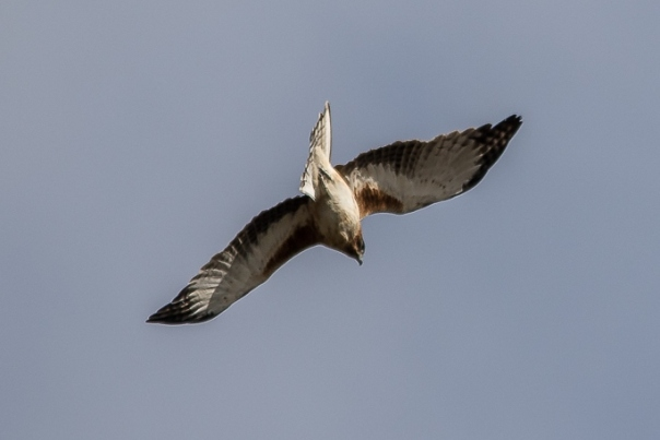 Little Eagle pale morph. Photographer: Stephen Garth