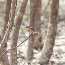 Scarlet Robin female. Photographer: Stephen Garth