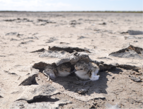 Red-capped Plover chicks successfully hatched from a nest cage