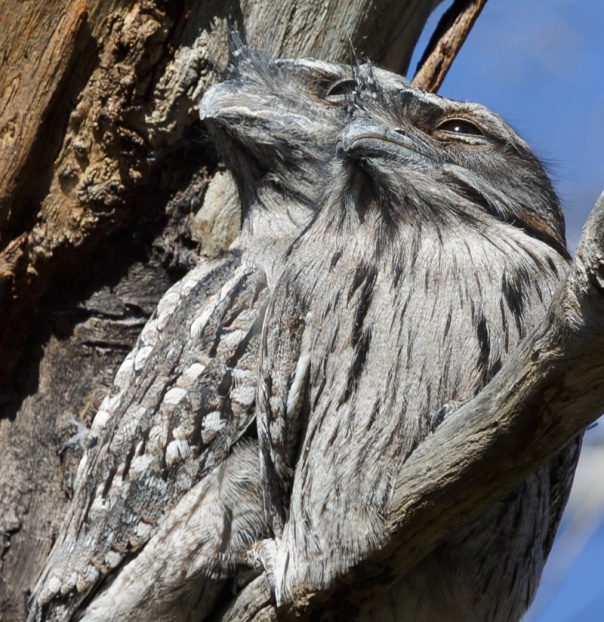 Tawny Frogmouths. Photo by Merrilyn Serong