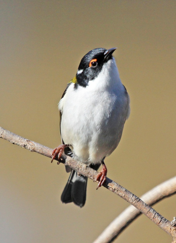 White-naped Honeyeater. Photo by Ken Haines