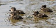 Chestnut Teal ducklings. Photo by Merrilyn Serrong