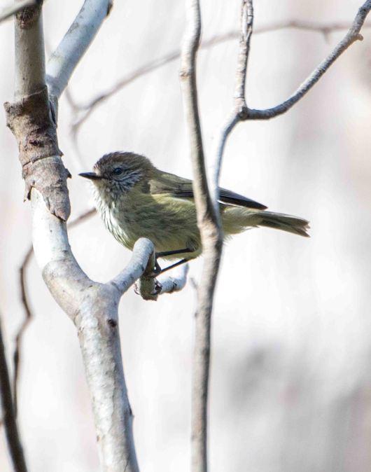 Striated Thornbill. Photo by Marilyn Ellis
