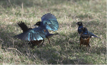 Superb Starlings. Photo by Sonja Ross