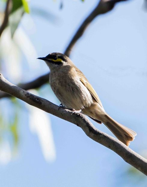 Yellow-faced Honeyeater. Photo by Marilyn Ellis