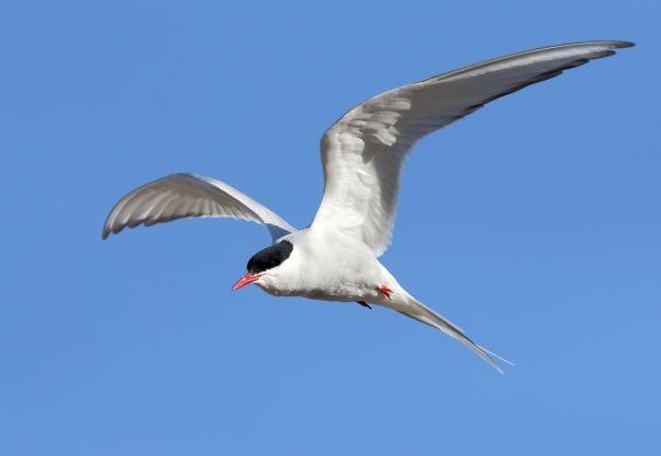 Arctic Tern at Longyearbeyen