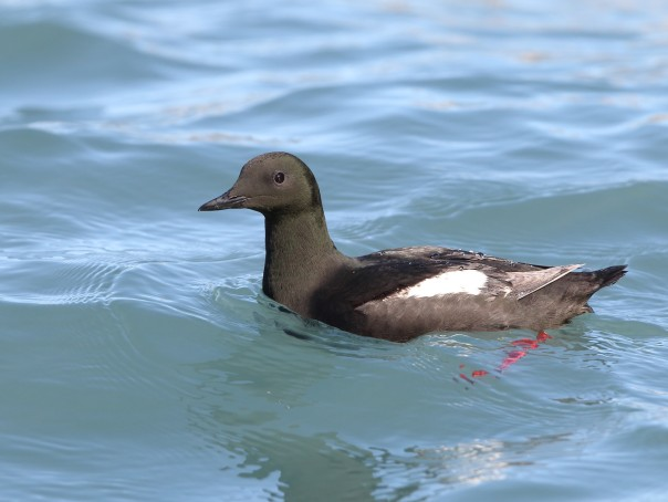 Black Guillemot with red feet