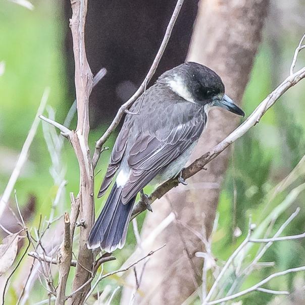 Grey Butcherbird. Photo by Stephen Garth