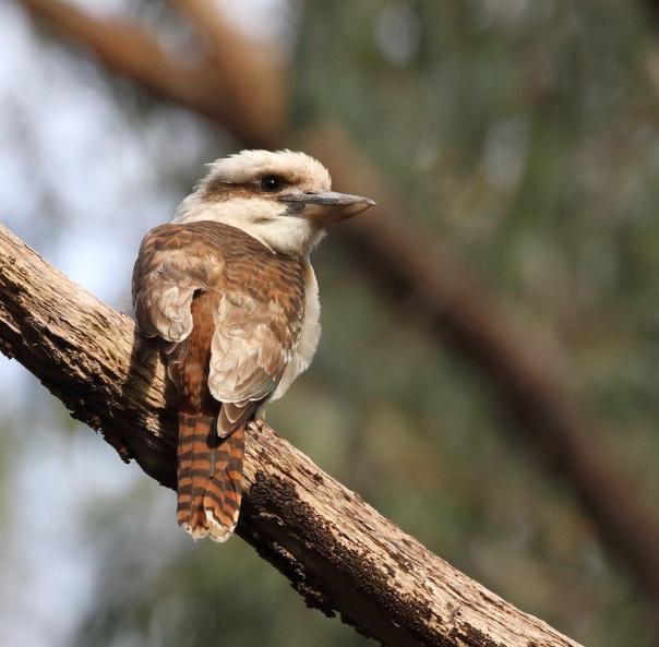 Laughing Kookaburra. Photo by Kathy Zonnevylle