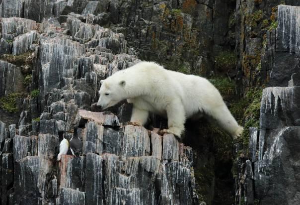 Polar Bear threatening Brünnich's Guillemotor