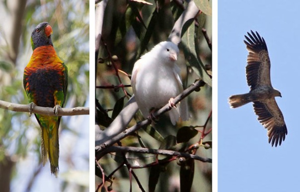 From left to right: Rainbow Lorikeet, photo by Merilyn Serong; Canary? Photo by Ron Garrett; Whistling Kite, photo by E. Dilley