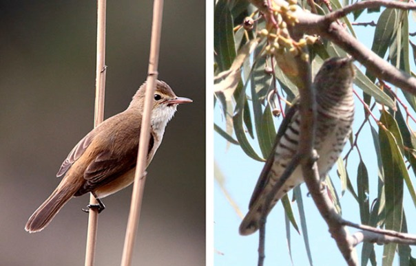 From left to right: Australian Reed Warbler, Shining Bronze Cuckoo. Photos by Ron Garrett