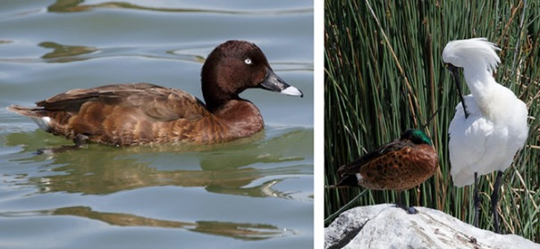 From left to right: Hardhead, Chestnut Teal and Royal Spoonbill. Photos by Merilyn Serong