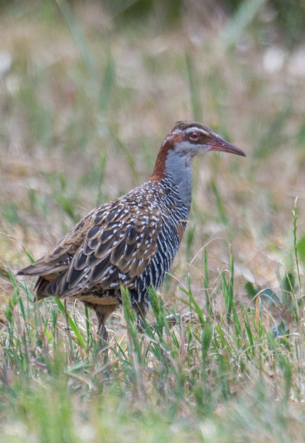 Buff-banded Rail. Photo by Marilyn Ellis