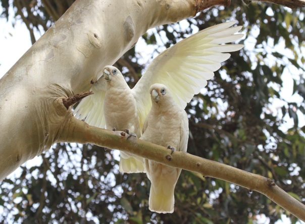 Little Corella. Photo by Kathy Zonnevylle