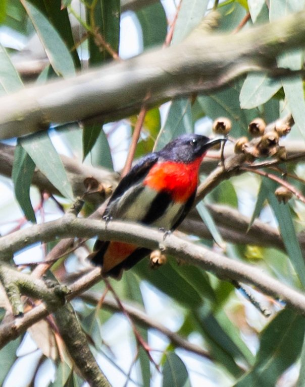 Mistletoebird. Photo by Marilyn Ellis