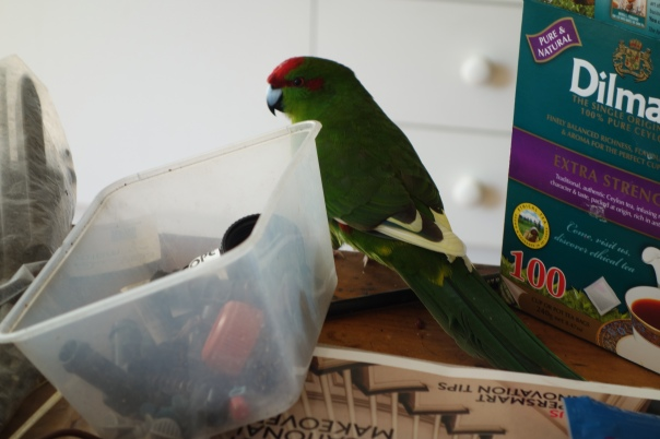 swift parrot (10)