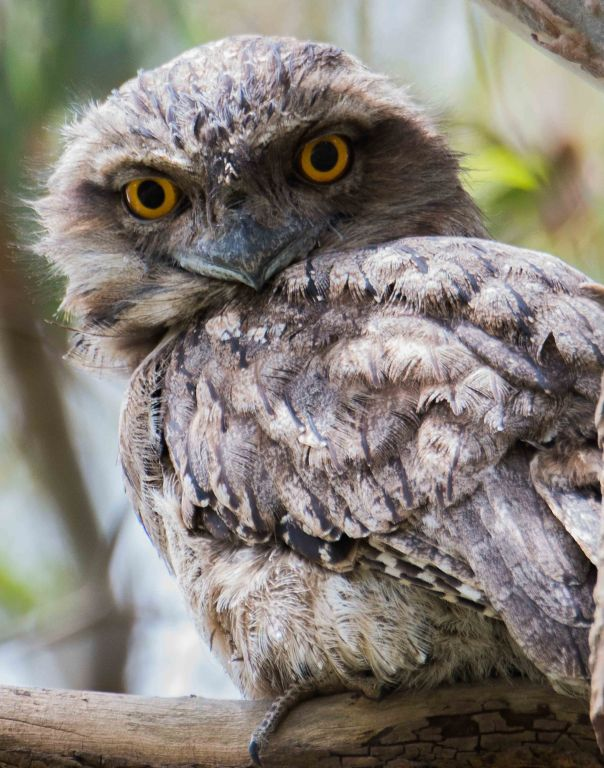 Tawny Frogmouth. Photo by Marilyn Ellis