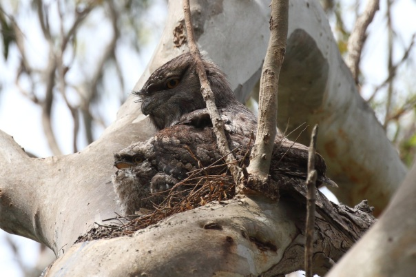 Tawny Frogmouth with young. Photo by Kathy Zonnevylle