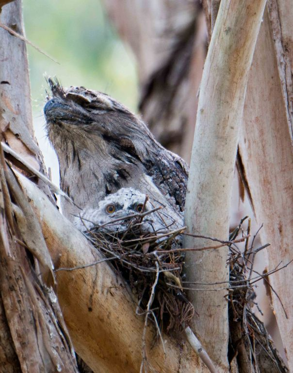 Tawny Frogmouth with young. Photo by Marilyn Ellis