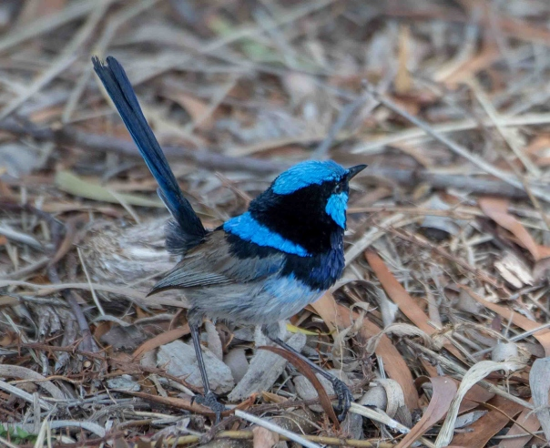 Superb Fairy-wren male - Marilyn Ellis