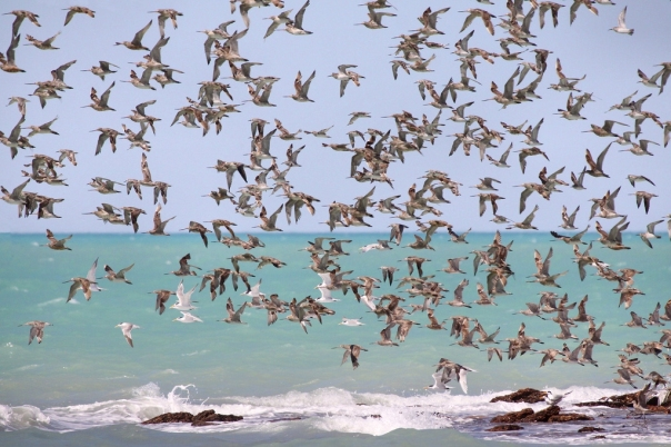 Waders_in_flight_Roebuck_Bay Wiki