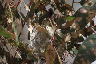 Weebill on nest - Kathy Zonnevylle
